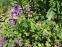 """Герань гімалайська """"Бірч Дабл"""" (Geranium himalayense """"Birch Double"""") - 3"""