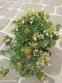 Самосил гірський (Teucrium montanum) - 3