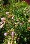 Дзвоники крапчасті (Campanula punctata) - 2
