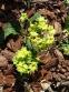 """Первоцвіт гібридний """"Франческа"""" (Primula  hybrid """"Francesca"""") - 4"""