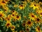 Рудбекія двоколірна (Rudbeckia bicolor) - 5