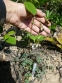 """Орлики зеленоквіткові """"Шоколадний солдатик"""" (Aquilegia viridiflora """"Chocolate Soldier"""" - 2"""