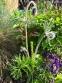 """Первоцвіт Томмазіні """"Ю енд Мі Блю""""(Primula х tommasiniі """"You and Me Blue"""") - 8"""