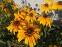 Рудбекія двоколірна (Rudbeckia bicolor) - 1