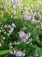 """Герань лучна """"Саммер Скайс"""" (Geranium pratense """"Summer Skies"""") - 2"""