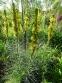 Асфоделіна жовта (Asphodeline lutea) - 4