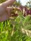Хасмантіум широколистий (Chasmanthium latifolium) - 4