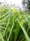 Осока Грея (Carex grayi) - 8