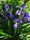 "Півники різнобарвні ""Кларет Кап"" (Iris versicolor ""Claret Cup"") - 3"
