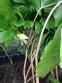 Подофіл  щитоподібний (Podophyllum peltatum) - 3