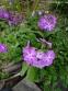 Первоцвіт Зібольда (Primula sieboldii) - 4