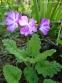 Первоцвіт Зібольда (Primula sieboldii) - 3