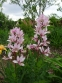 Ясенець білий варіант пурпуровий (Dictamnus albus var. purpureus) - 1
