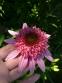 "Ехінацея пурпурова ""Раззматазз"" (Echinacea purpurea ""Razzmatazz"") - 2"