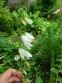 Дзвоники кіньськочасниколисті (Campanula alliariifolia) - 3