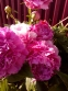 "Півонія ""Дрезден Пінк"" (Paeonia ""Dresden Pink"") - 1"
