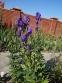 Аконіт Карміхеля (Aconitum carmichaelii) - 4