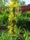 Асфоделіна жовта (Asphodeline lutea) - 2