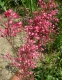 Гейхера криваво-червона (Heuchera sanguinea) - 2