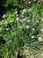 Цибуля-трибулька (Allium schoenoprasum) - 1