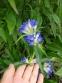 Тирлич даурський (Gentiana dahurica) - 4