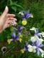Кодонопсис ломиносоподібний (Codonopsis clematidea) - 6