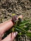 Рябчик ува вульпіс (Fritillaria uva vulpis) - 4