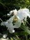 Півники бородаті карликові білі (Iris pumila) - 2