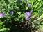 """Герань Ренарда """"Філіпп Вапель"""" (Geranium renardii """"Philippe Vapelle"""") - 4"""
