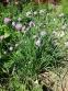 Цибуля-трибулька (Allium schoenoprasum) - 3