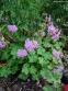 """Герань кембріджська """"Кембрідж"""" (Geranium cantabrigiense """"Cambridge"""") - 1"""