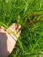 Осока пальмолиста (Carex muskingumensis) - 5