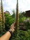 Наперстянка іржава (Digitalis ferruginea) - 4