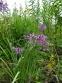 Цибуля схилена (Allium cernuum  Roth) - 5