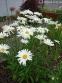 """Королиця """"Аляска"""" (Leucanthemum x superbum """"Alaska"""") - 2"""