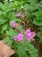 Герань великокореневищна, або Журавець великокореневищний (Geranium macrorrhizum) - 1