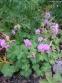 """Герань кембріджська """"Кембрідж"""" (Geranium cantabrigiense """"Cambridge"""") - 3"""