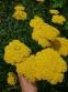 "Деревій таволговий ""Коронатіон Голд"" (Achillea filipendulina ""Coronation Gold"") - 1"