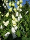 "Наперстянка пурпурова ""Альба"" (Digitalis purpurea var. Аlba) - 2"