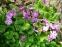 Первоцвіт Зібольда (Primula sieboldii) - 5