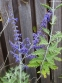 "Перовскія лебедолиста ""Блю Спайр"" (Perovskia atriplicifolia ""Blue Spire"") - 3"