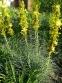 Асфоделіна жовта (Asphodeline lutea) - 7