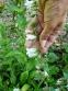 Дзвоники кіньськочасниколисті (Campanula alliariifolia) - 1