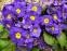 """Первоцвіт Томмазіні """"Ю енд Мі Блю""""(Primula х tommasiniі """"You and Me Blue"""") - 4"""