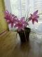Зефірантес кілеватий (Zephyranthes carinata Herb.) - 1