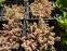 "Очиток густолистий ""Опелайн"" (Sedum dasyphyllum ""Opaline"") - 1"