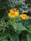 Крем'яник гарний (Telekia speciosa) - 1