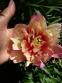 """Півонія """"Джулія Роуз"""" (Paeonia ITOH """"Julia Rose"""") - 3"""