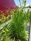 Осока Грея (Carex grayi) - 6