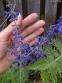 "Перовскія лебедолиста ""Блю Спайр"" (Perovskia atriplicifolia ""Blue Spire"") - 1"